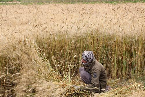 Récolte-du-blé—Yakawlang